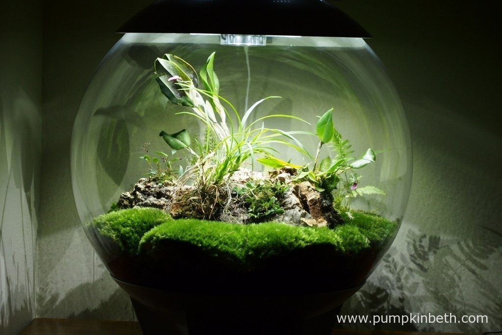 My BiOrbAir terrarium as pictured on the 10th February 2016. Inside this terrarium my Lepanthopsis astrophora 'Stalky', my Restrepia purpurea 'Rayas Vino Tinto' and my Restrepia sanguinea are all flowering.