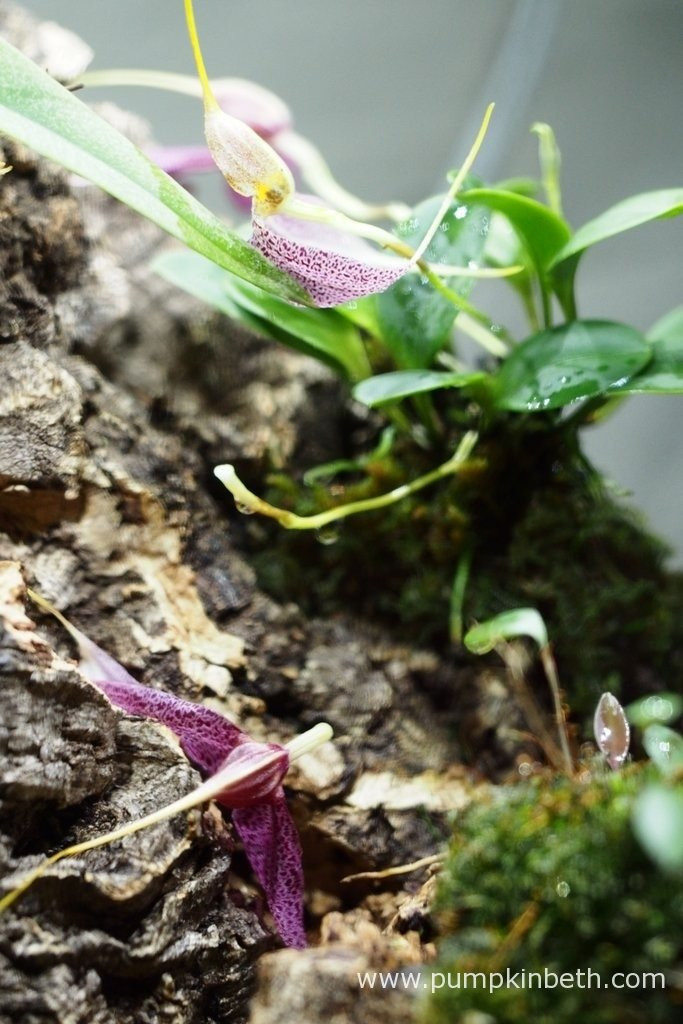 On the 12th February 2016, I accidentally dropped the bottle of rain water that I was pouring into my BiOrbAir to top up the base reservoir with rainwater. As you can see I soaked the miniature orchids with the water and knocked a flower off my Masdevallia decumana.