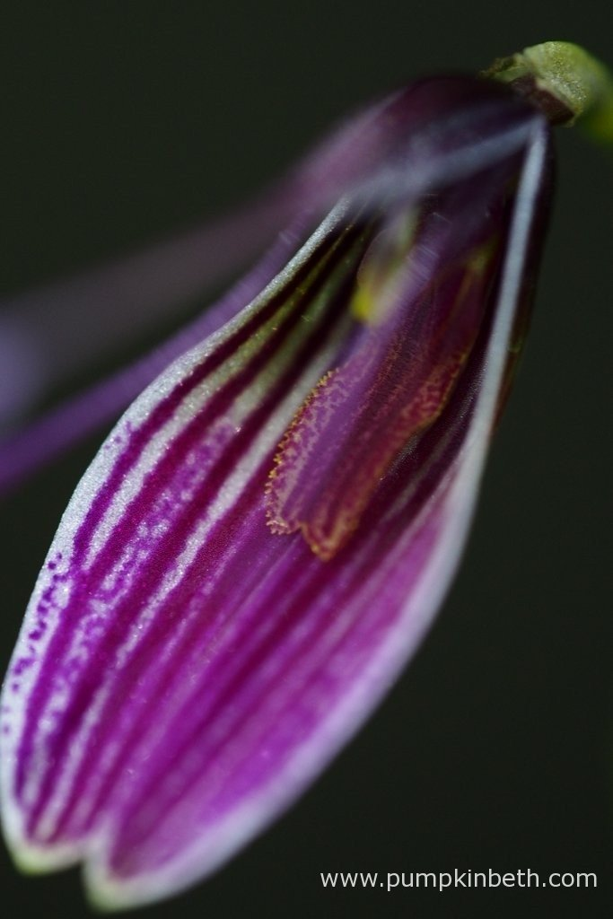 A close up of a Restrepia purpurea 'Rayas Vino Tinto' inflorescence, as pictured inside my BiOrbAir terrarium, on the 19th February 2016.
