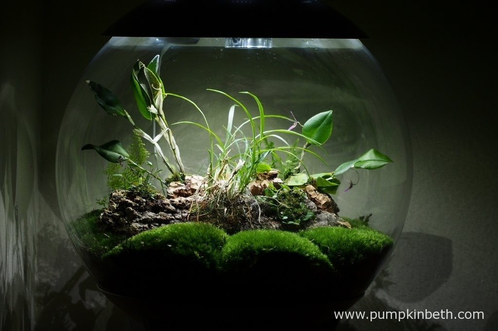 My BiOrbAir terrarium on the 20th February 2016. Inside this terrarium I have a Lepanthopsis astrophora 'Stalky' in flower and a Restrepia purpurea 'Rayas Vino Tinto' also in flower. Flowering has stopped, for the time being at least, on my Restrepia sanguinea.