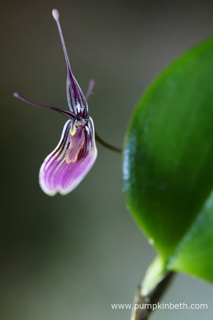 Restrepia purpurea 'Rayas Vino Tinto'produces these elegant, striped flowers which are both eye catching and enchanting. This is a super miniature orchid to grow inside a terrarium.