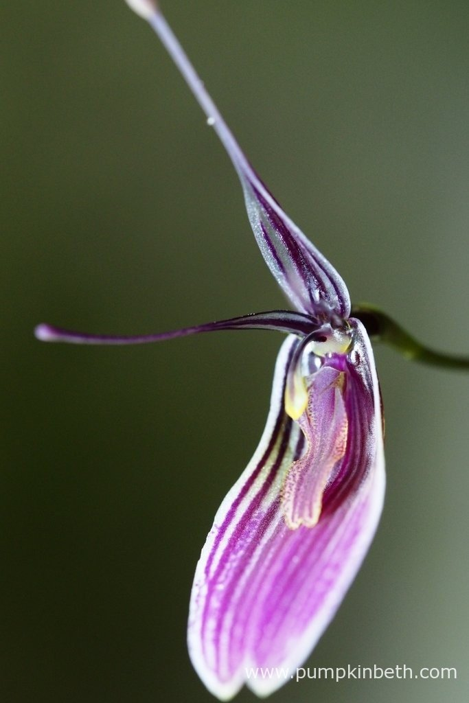 Restrepia purpurea 'Rayas Vino Tinto' flowering inside my BiOrbAir terrarium on the 23rd February 2016.