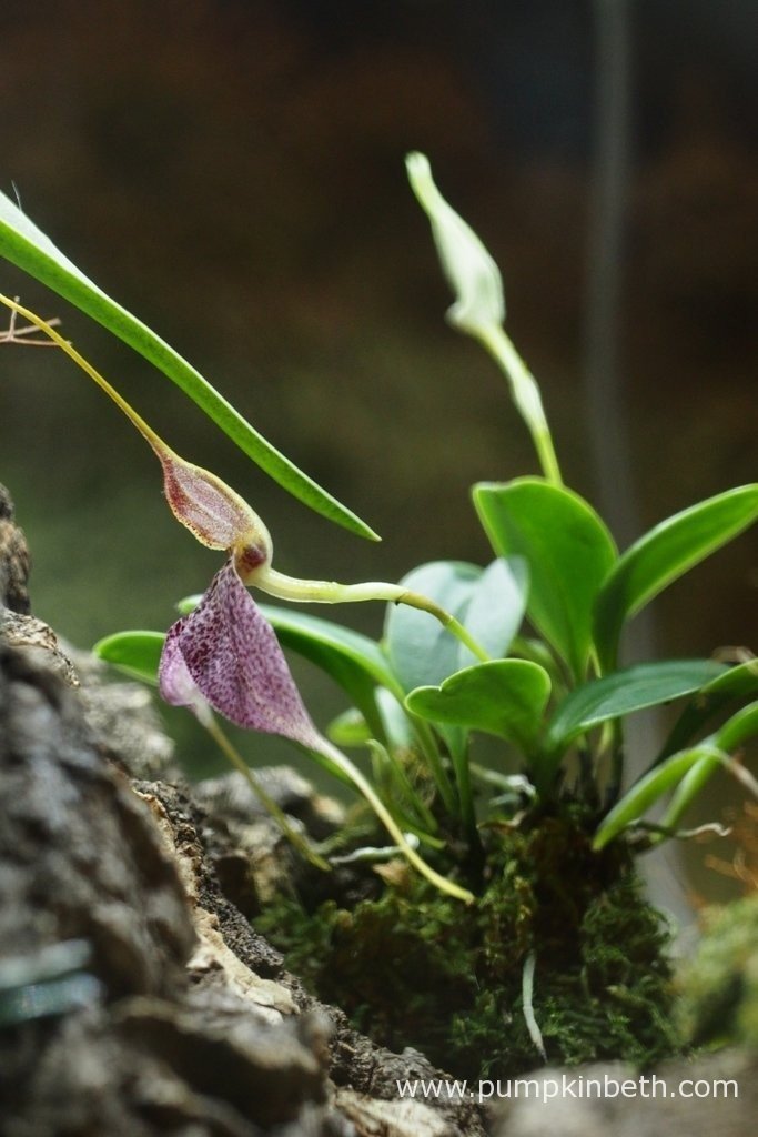 Here's my Masdevallia decumana flowering inside my Miniature Orchid Trial BiOrbAir Terrarium. Currently there are two more buds which are yet to open on this miniature orchid. I am enjoying admiring this super orchid and its beautiful, large flowers.