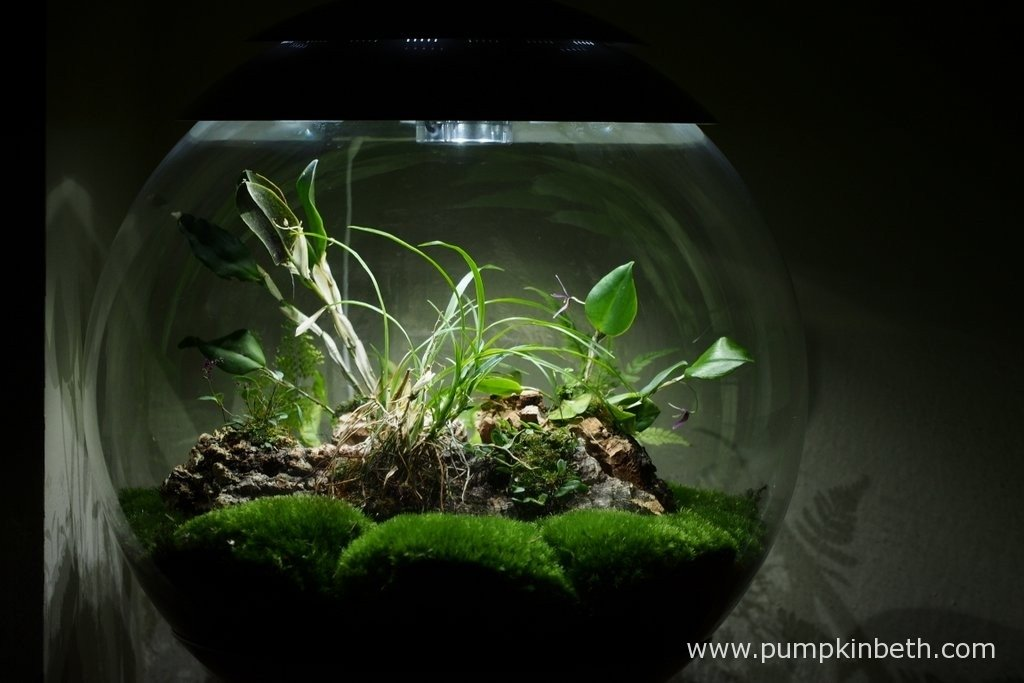 My BiOrbAir terrarium pictured on the 23rd February 2016. Inside this terrarium Restrepia purpurea 'Rayas Vino Tinto' and Lepanthopsis astrophora 'Stalky' are flowering.