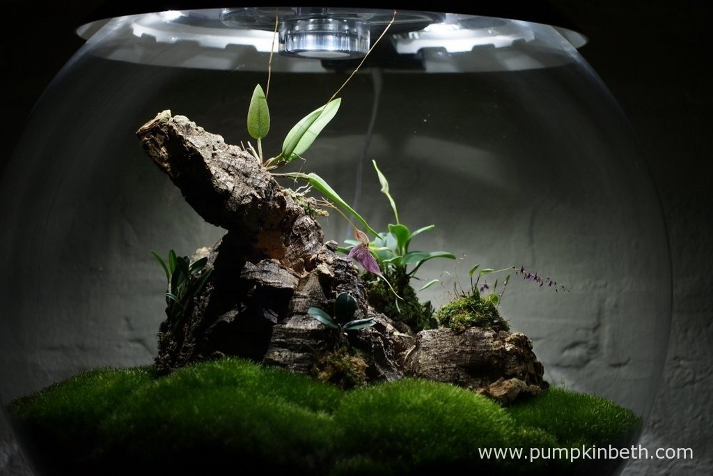 My Miniature Orchid Trial BiOrbAir Terrarium as pictured on the 23rd February 2016. Inside this terrarium Lepanthopsis astrophora 'Stalky' is in full flower, as is my Masdevallia decumana, my Domingoa purpurea is yet to flower, but is in the early stages of the flowering process.