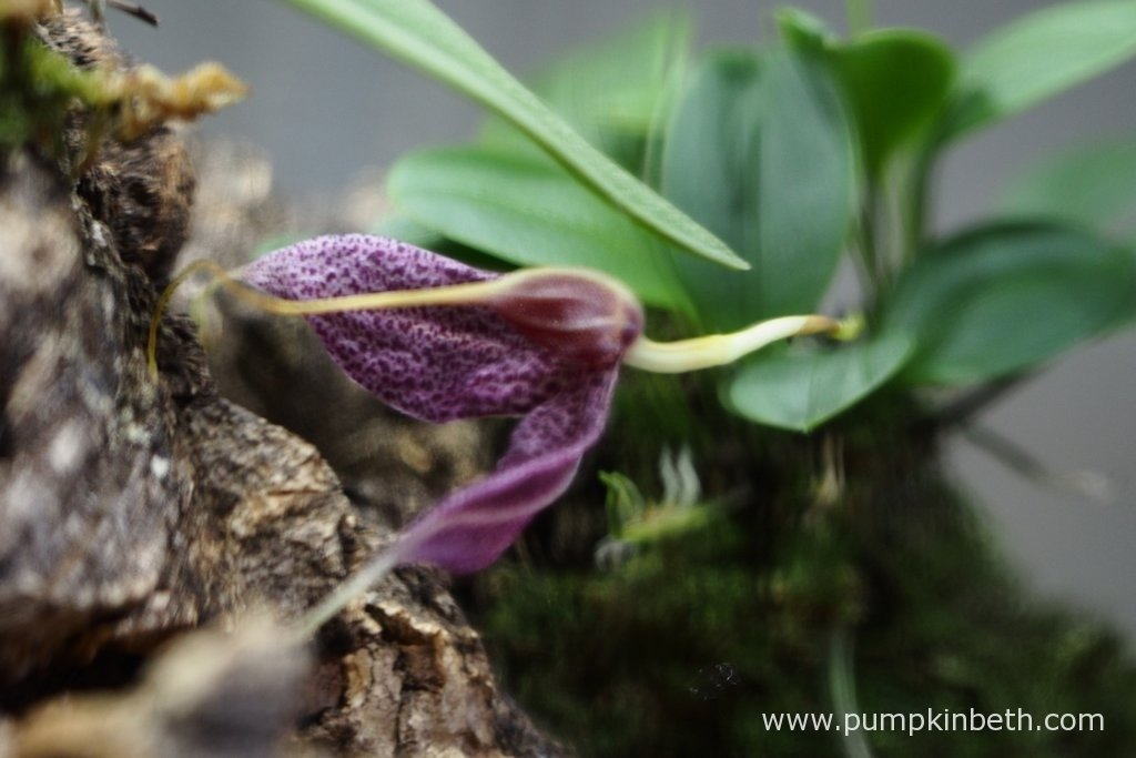 25th February 2016. This flower on my Masdevallia decumana is just going over.