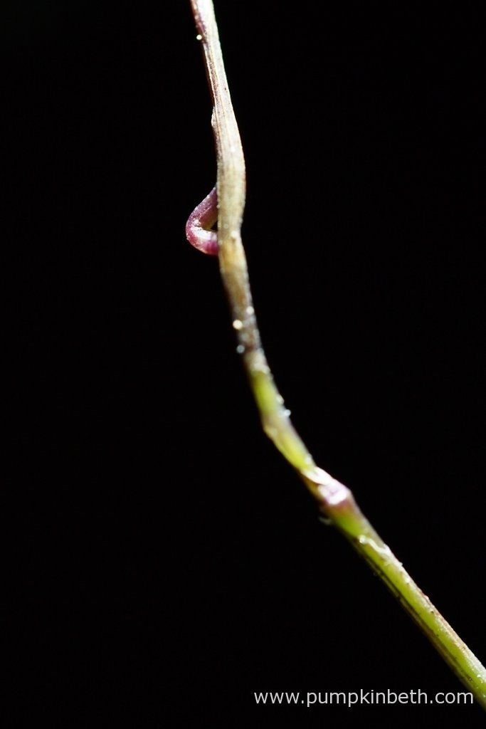 My Domingoa purpurea flower spike as pictured on the 26th February 2016, inside my Miniature Orchid Trial BiOrbAir Terrarium.