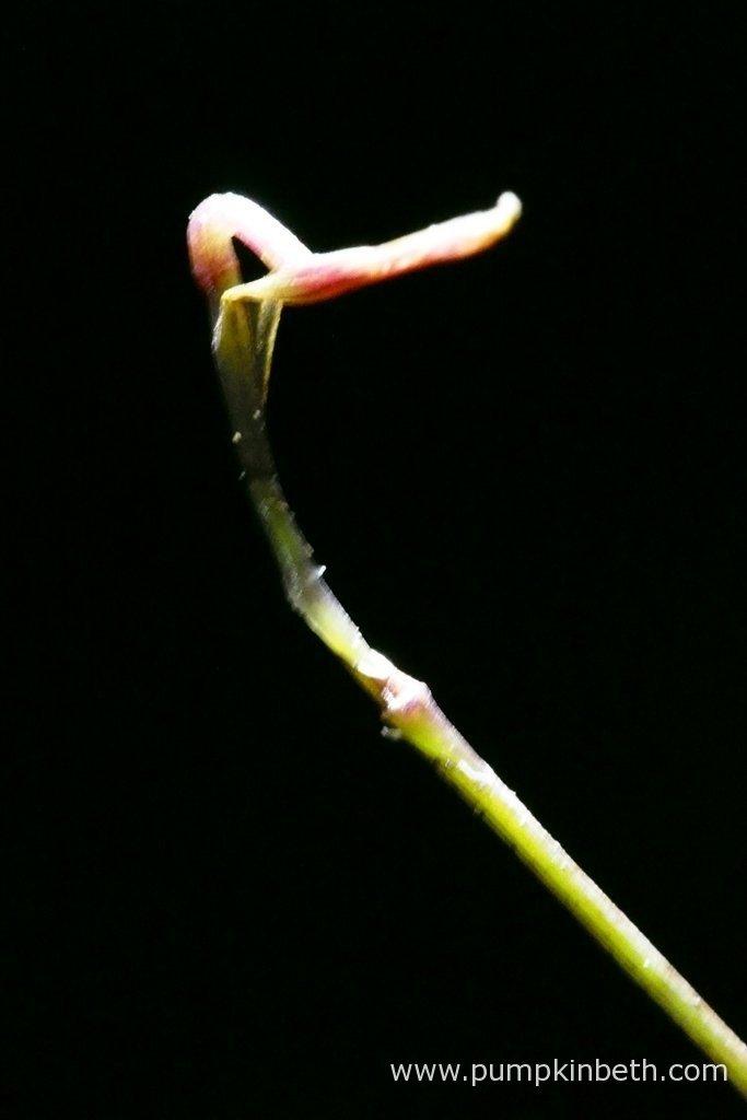 The Domingoa purpurea flower spike, as pictured on the 29th February 2016, inside my Miniature Orchid Trial BiOrbAir Terrarium.