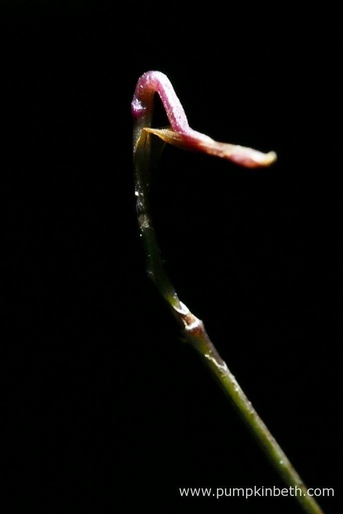 The Domingoa purpurea flower spike, as pictured on the 3rd March 2016, inside my Miniature Orchid Trial BiOrbAir Terrarium.
