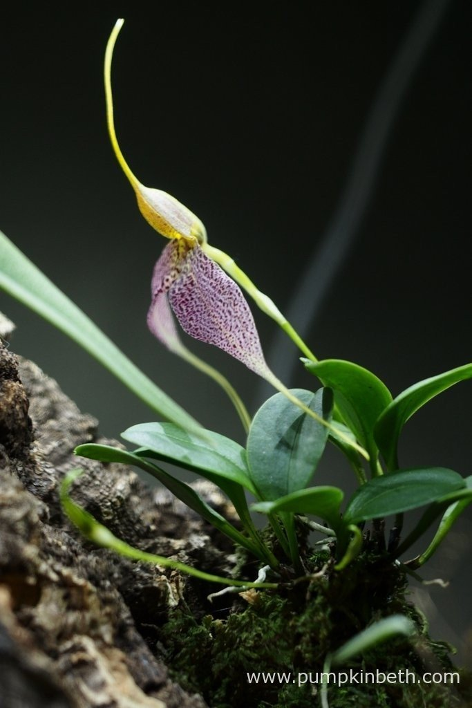 This Masdevallia decumana has one flower which just opened this morning and two further flower buds developing.
