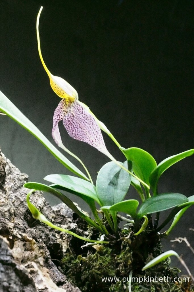 In this photograph, taken on the 3rd March 2016, inside my Miniature Orchid BiOrbAir Terrarium, you can see the new Masdevallia decumana flower, which opened this morning, and you might also be able to make out two Masdevallia decumana buds, still in the early stages of development.