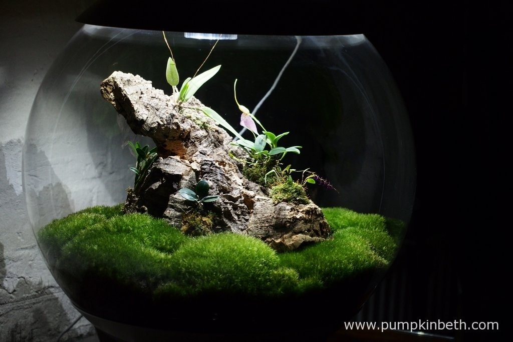 My Miniature Orchid Trial BiOrbAir Terrarium, as pictured on the 3rd March 2016. In this photograph you can see my Masdevallia decumana and Lepanthopsis astrophora 'Stalky' in full flower.