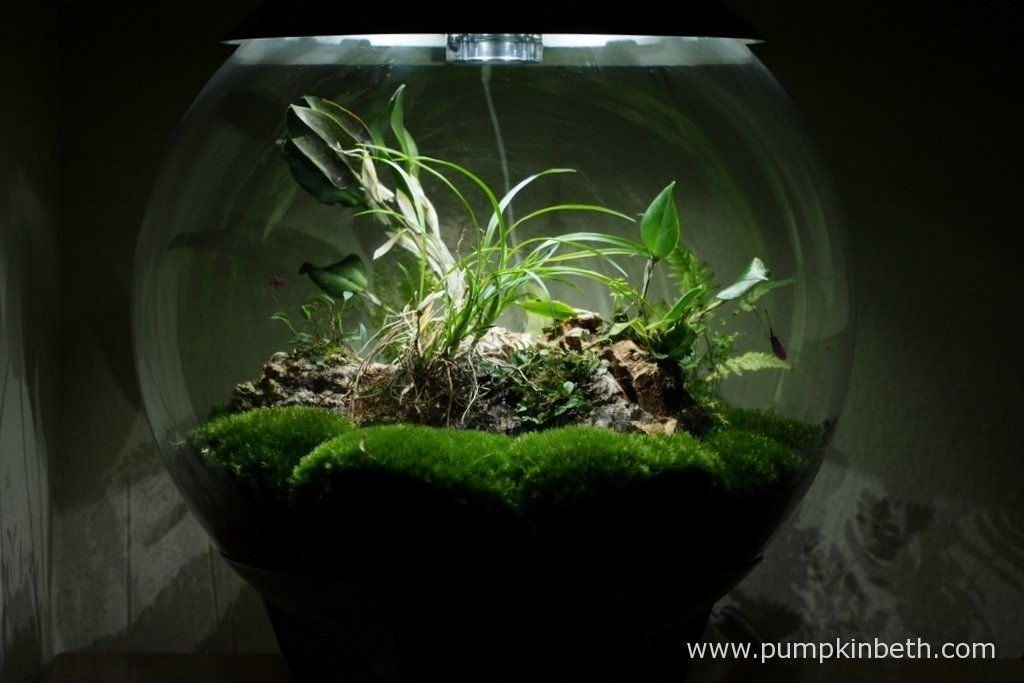 My BiOrbAir terrarium, as pictured on the 10th March 2016. I have a Lepanthopsis astrophora 'Stalky' and a Restrepia pururea 'Rayas Vino Tinto' in flower inside this terrarium.