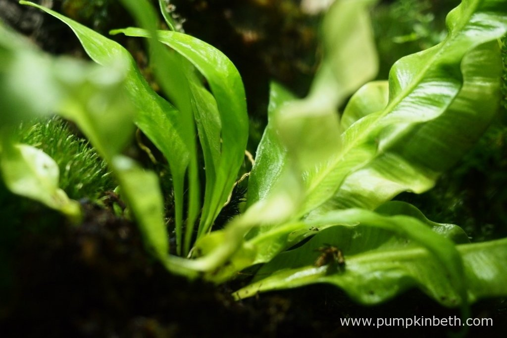 Here's my Asplenium nidus 'Crispy Wave' as pictured on the 10th March 2016 inside my BiOrbAir terrarium. As you can see this fern has produced a number of new fronds, these are somewhat straighter and less wavy than the older fronds.