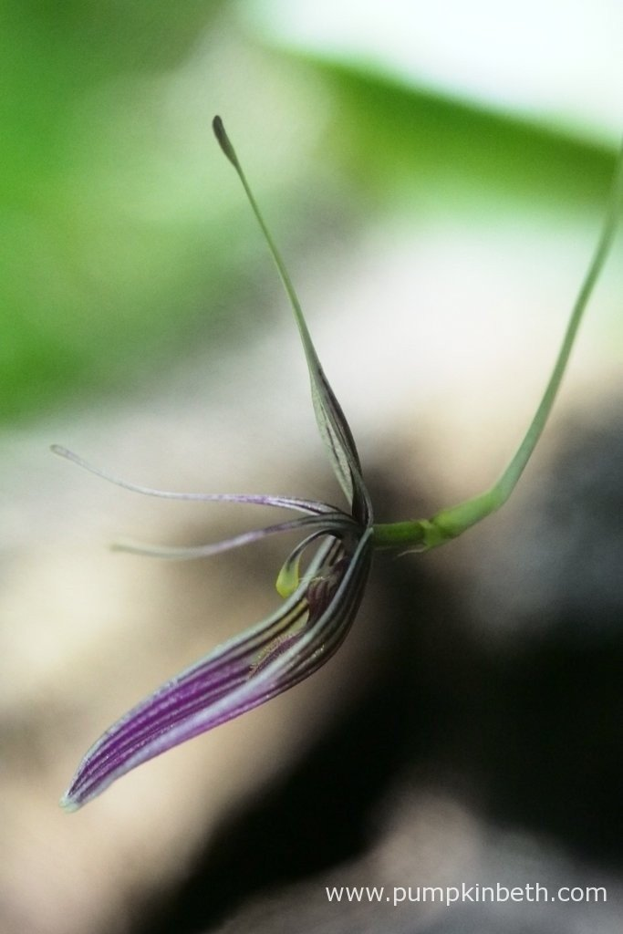 A close up of one of the Restrepia purpurea 'Rayas Vino Tinto' flowers. Pictured inside my BiOrbAir terrarium on the 10th March 2016.