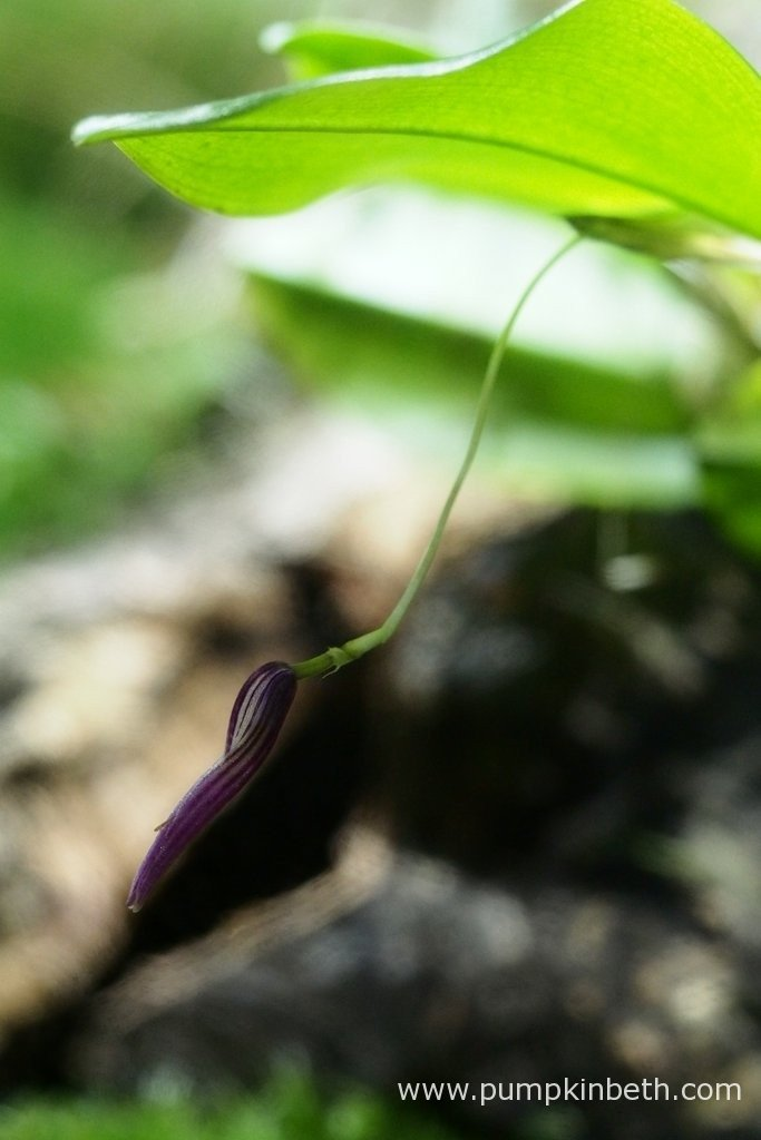 Here's another look at the closed, finished flower of Restrepia purpurea 'Rayas Vino Tinto', as pictured on the 14th March 2016, inside my BiOrbAir terrarium. After closing the finished flower will drop sometime in the next couple of days.
