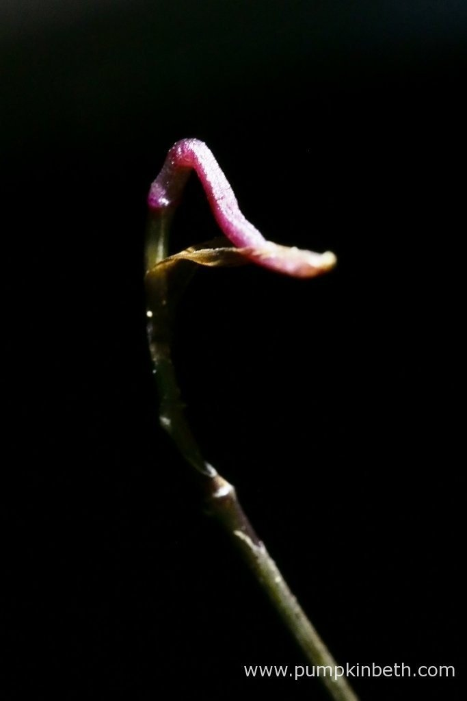 Here's my Domingoa purpurea flower spike, as pictured on the 14th March 2016, inside my Miniature Orchid Trial BiOrbAir Terrarium.
