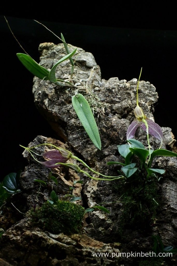 Here's another view inside my Miniature Orchid Trial BiOrbAir Terrarium, in this photograph you can see the Masdevallia decumana with its three flowers at different stages of growth. At the bottom of the photograph you can see my Lepanthopsis astrophora 'Stalky' and Aerangis fastuosa, and at the top of the photograph, Domingoa purpurea. Pictured on the 18th March 2016.