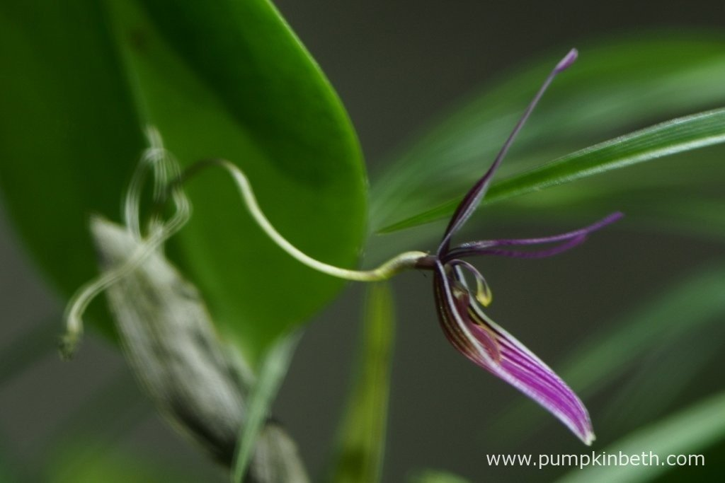 Restrepia purpurea 'Rayas Vino Tinto' in flower inside my BiOrbAir terrarium on the 18th March 2016.