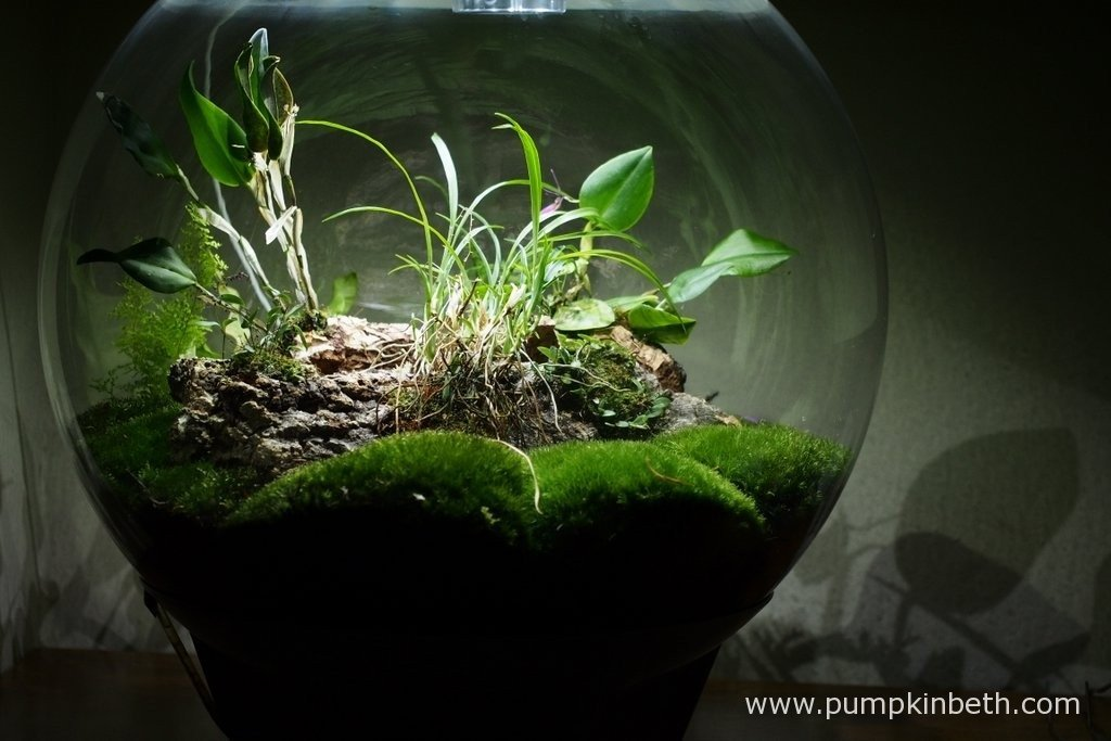 The only maintenance I have needed to carry out to this terrarium for quite sometime is to remove the dead Ornithophora radicans leaves that had fallen onto the moss as pictured in this photograph, taken on the 18th March 2016.