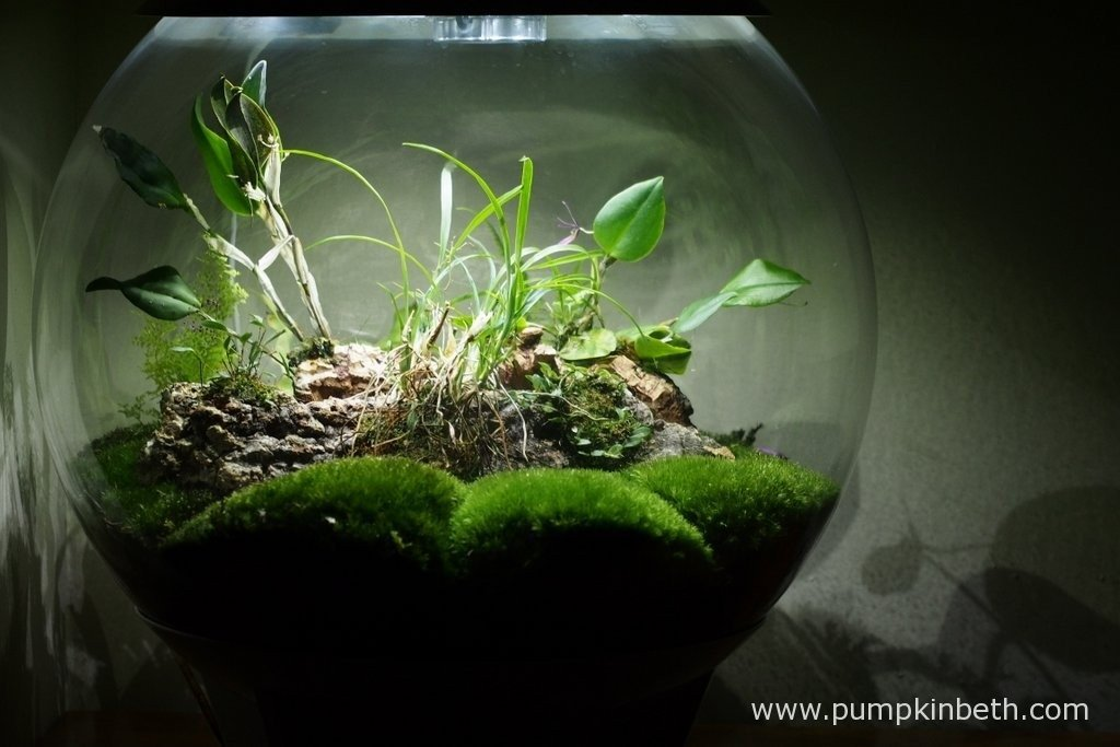 My BiOrbAir terrarium as pictured on the 18th March 2016. Inside this terrarium, Lepanthopsis astrophora 'Stalky' and Restrepia purpurea 'Rayas Vino Tinto' are flowering.