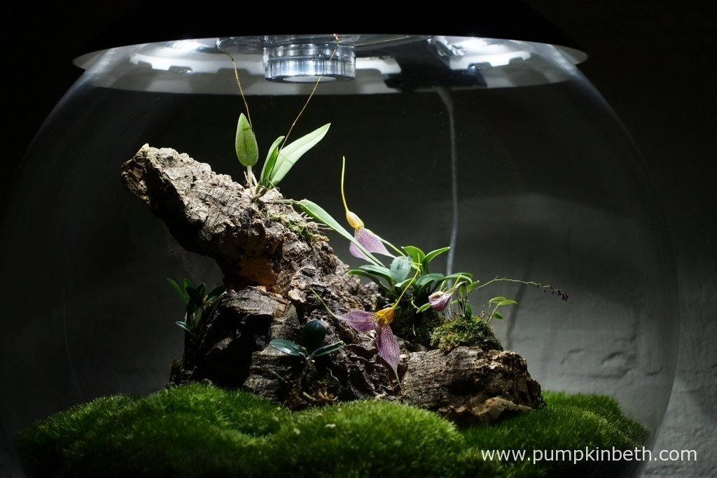 Here's my Miniature Orchid Trial BiOrbAir Terrarium, as pictured on the 25th March 2016. Inside this terrarium, Lepanthopsis astrophora 'Stalky', Masdevallia decumana are in full flower, and Domingoa purpurea has two flower spikes, which have yet to bloom.