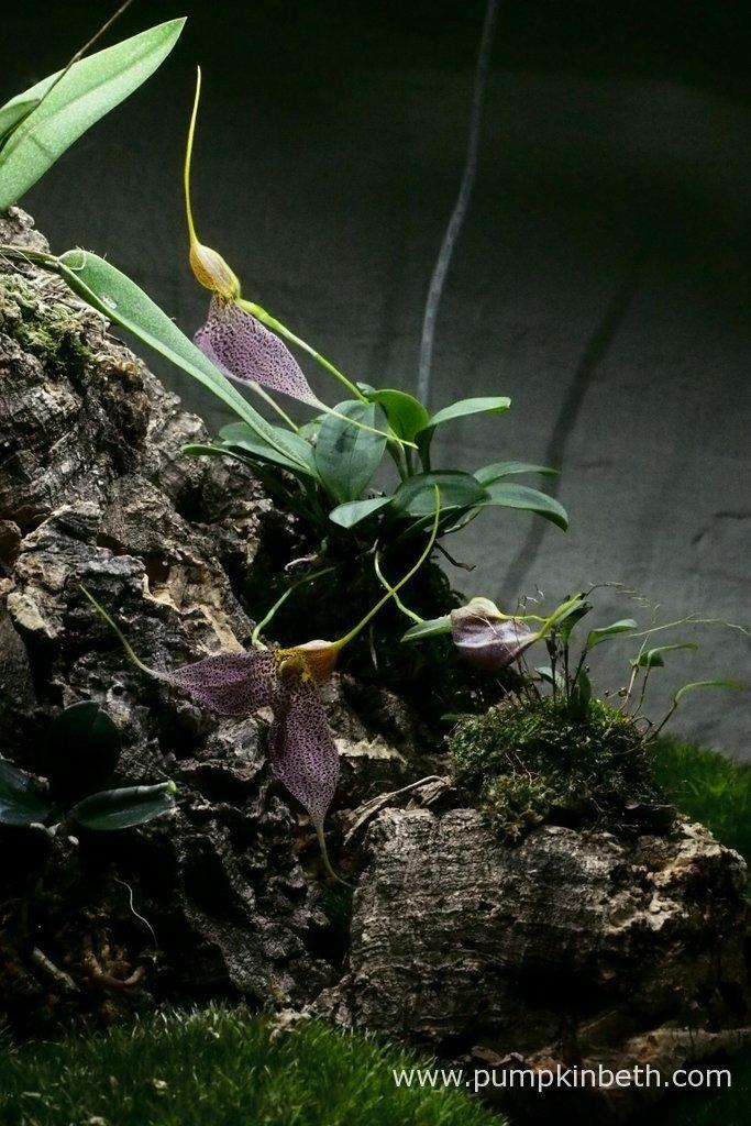 Here's my Masdevallia decumana as pictured on the 25th March 2016, inside my Miniature Orchid Trial BiOrbAir Terrarium.