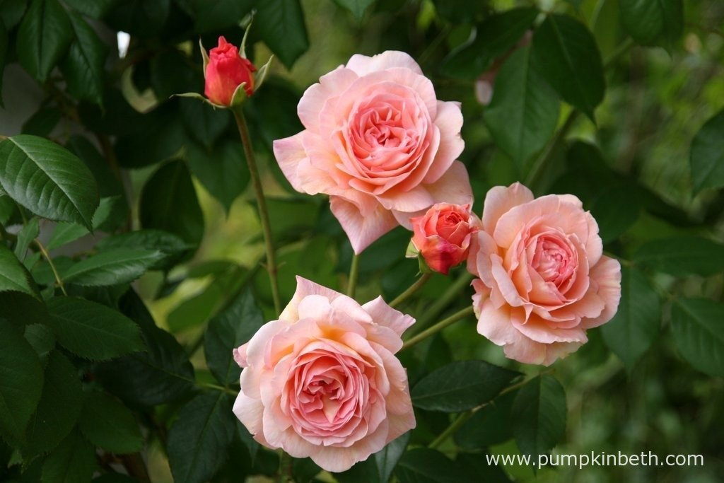 Rosa 'A Shropshire Lad' is a healthy and disease resistant climbing rose. It repeat flowers well, producing numerous, beautiful peachy pink, fragrant flowers.