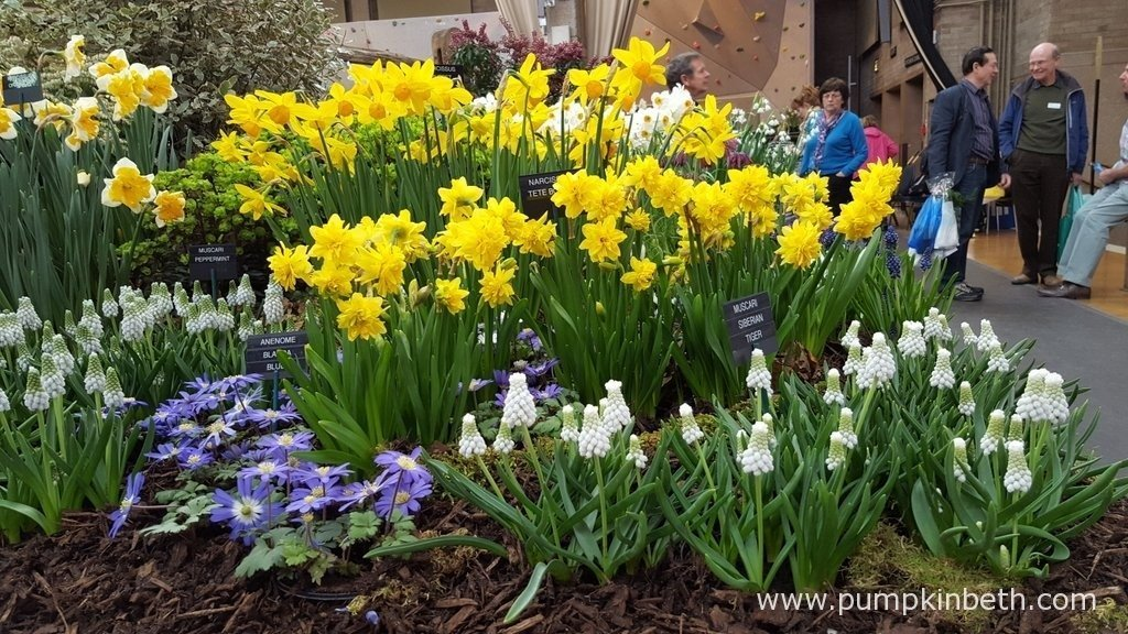 This beautiful exhibit from W & S Lockyer, specialist growers of auriculas, nerines, snowdrops, bulbs and perennials, features Narcissus 'Tête Bouclé', a new double flowered sport of Narcissus 'Tête-à-tête'. This is the first time that this daffodil, which is new to the UK, has been exhibited. Narcissus 'Tête Bouclé' is available from W & S Lockyer at The RHS London Spring Plant Extravaganza 2016, but this is a new plant and stocks are very limited.