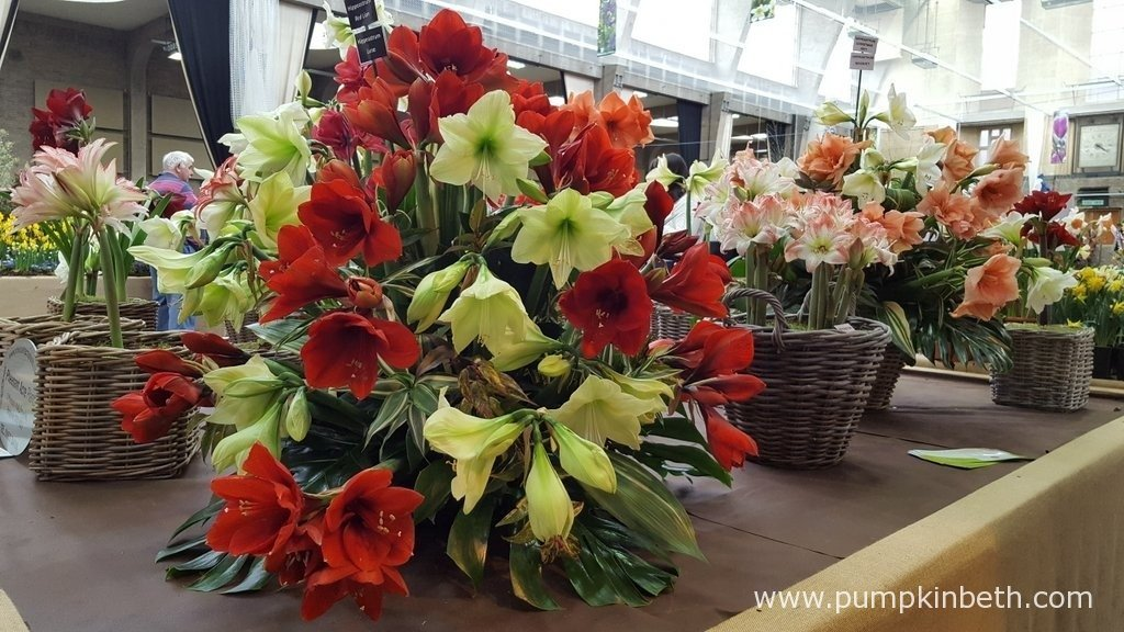 This beautiful display of Hippeastrum was created by Pheasant Acre Plants. The RHS Judges awarded this display a Silver Medal.
