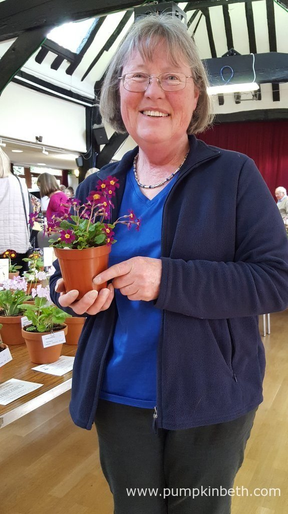 Carolyn Hammond pictured with her own Primula seedling, a cross that she has bred and raised herself, which was awarded first prize in its class at The National Auricula and Primula Society Southern Section 132nd Auricula Show.