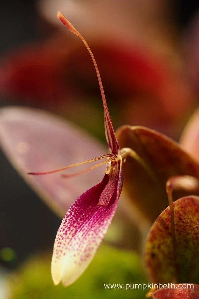 endearing house plants types. Restrepia seketii Orchidarium Planting List  Pumpkin Beth
