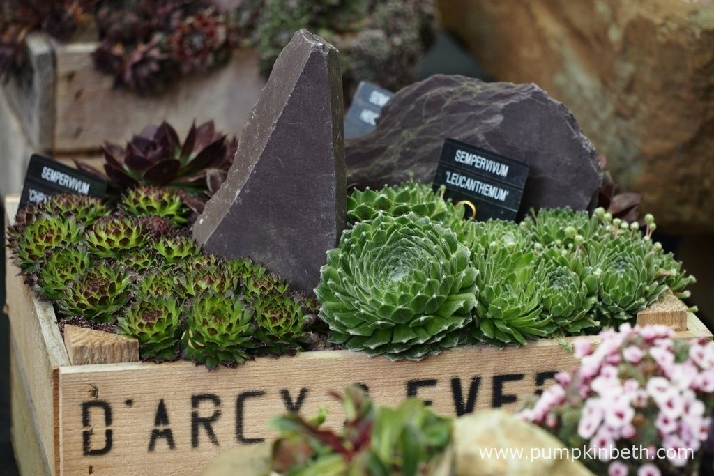These pretty Sempervivums were part of an exhibit from D'Arcy & Everest, specialist growers of alpine plants. Pictured at The RHS London Spring Plant Extravaganza 2016.