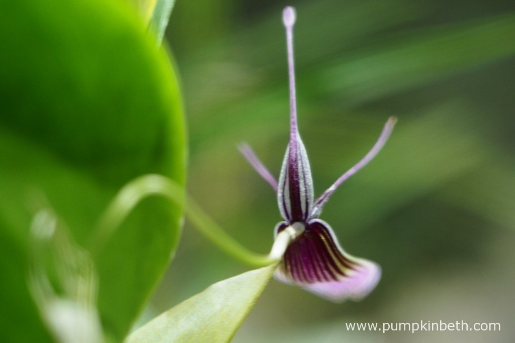 Here's a view from the back of the Restrepia purpurea 'Rayas Vino Tinto' flower. This Restrepia is so far growing well in the constant conditions provided by my BiOrbAir terrarium. I find I need to mist the Restrepias more than my other miniature orchids from different genera, as the Restrepias seem to prefer more moist conditions. It only takes a moment to mist these plants, I am so happy to have included them in my terrarium.
