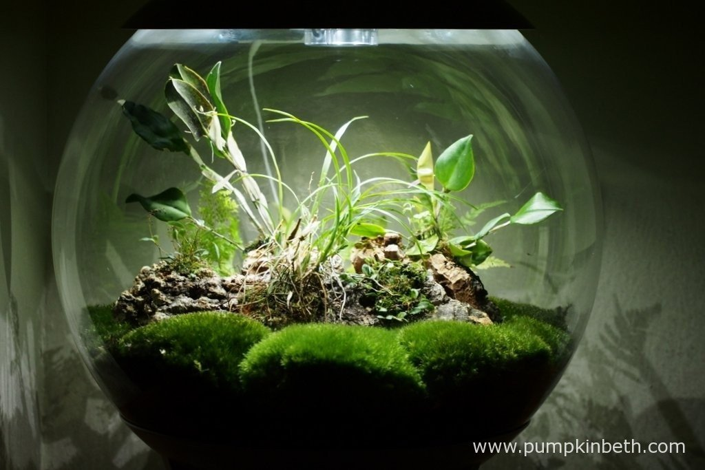 My BiOrbAir terrarium as pictured on the 2nd April 2016. Currently my Lepanthopsis astrophora 'Stalky' and my Restrepia purpurea 'Rayas Vino Tinto' are in flower inside this terrarium.