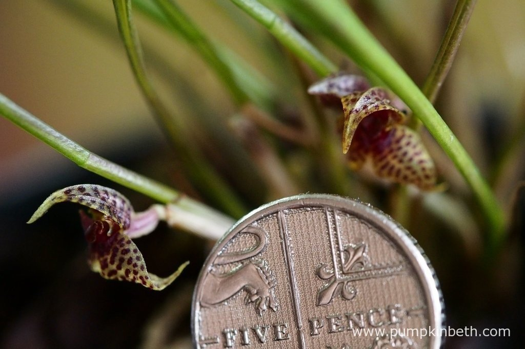 Dryadella simula inflorescences, pictured with a British five pence piece to show the diminutive size of the inflorescences..
