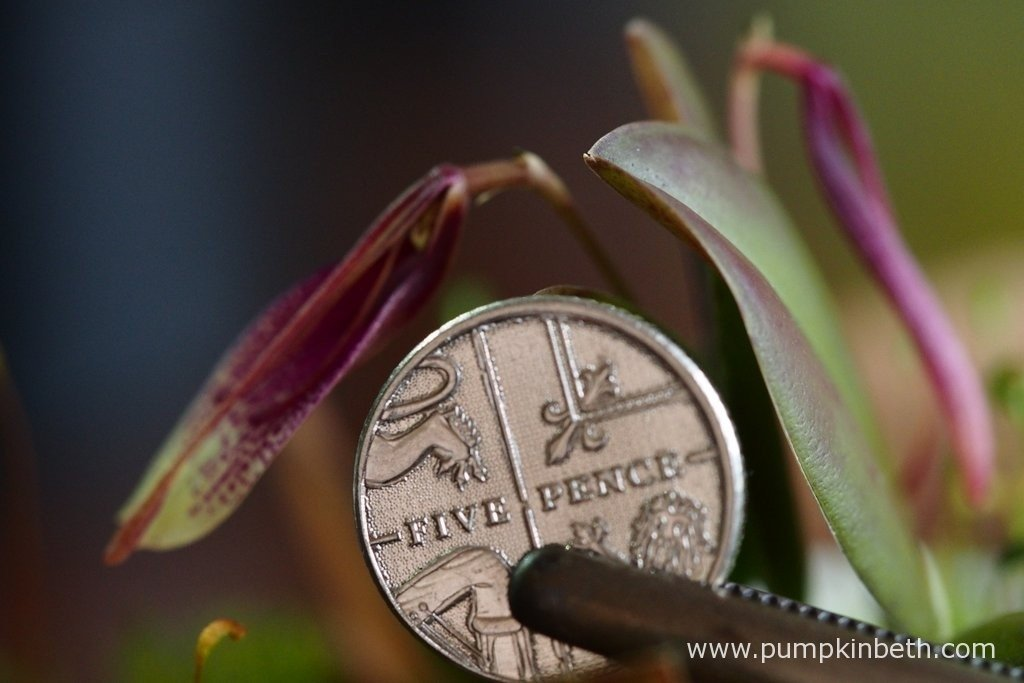 Restrepia seketii pictured with a British five pence piece to clearly show the size of this miniature orchid and its inflorescence.