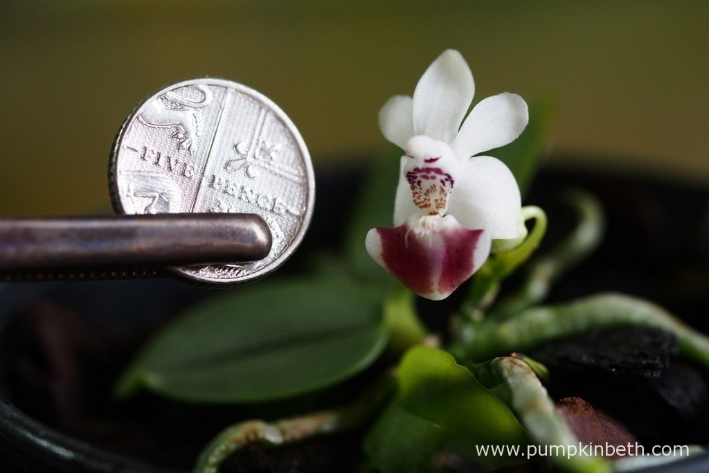 Phalaenopsis parishii pictured with a British five pence piece to show the diminutive size of the plant. This miniature Phalaenopsis has very large flowers compared to the size of the plant.