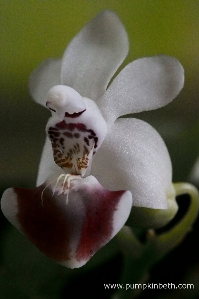 A close up of a Phalaenopsis parishii bloom.