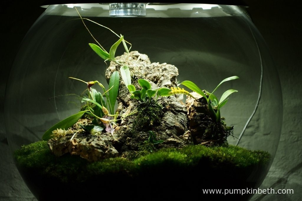 Pictured on the 9th April 2016, my Miniature Orchid Trial BiOrbAir Terrarium, has been re-organised. The following miniature orchids have been now been included - Bulbophyllum falcatum 'Minor', Dryadella simula, and Masdevallia rechingeriana. These miniature orchids have now been added to my trial.