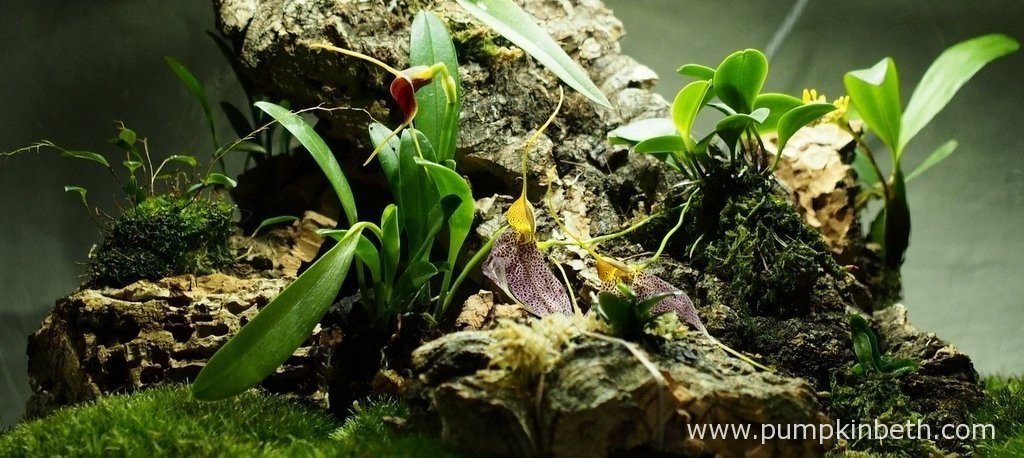 My Miniature Orchid Trial BiOrbAir Terrarium, as pictured on the 9th April 2016.