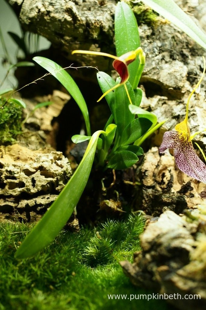 Pictured on the 9th April 2016, inside my Miniature Orchid Trial BiOrbAir Terrarium - Masdevallia rechingeriana with its triquetrous inflorescence and just squeezing into the edge of the photograph, a Masdevallia decumana flower.