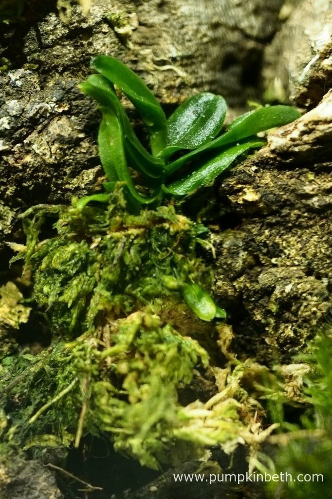 Angraecum equitans, pictured inside my Miniature Orchid Trial BiOrbAir Terrarium on the 9th April 2016. This miniature orchid has secured itself in place on the cork bark, and after the fishing line was removed, needed no further tying in.