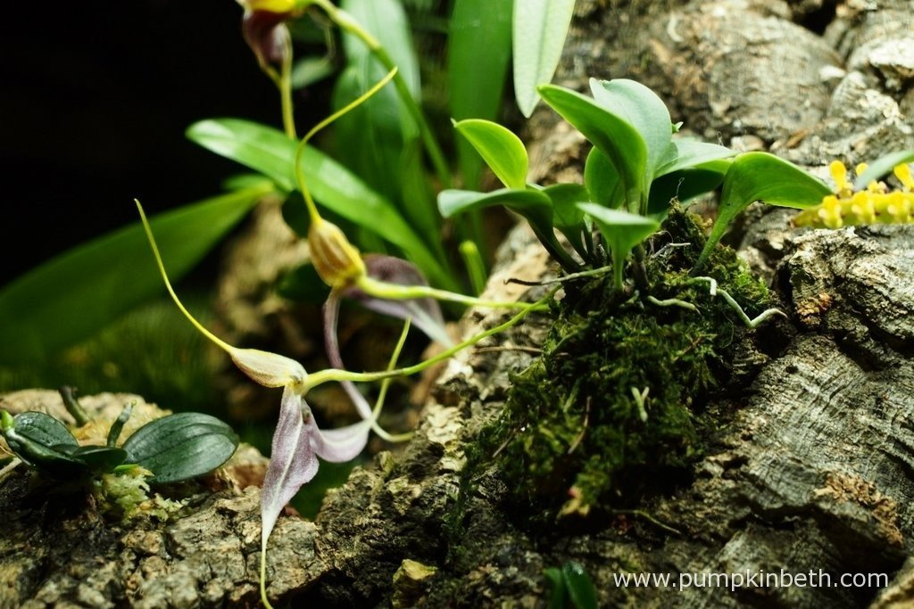 Pictured on the 9th April 2016, inside my Miniature Orchid Trial BiOrbAir Terrarium - Masdevallia decumana in full flower, the flowers of Bulbophyllum falcatum 'Minor' just edge into the photograph on the right hand side and the flowers of Masdevallia rechingeriana can just be made out in the background.