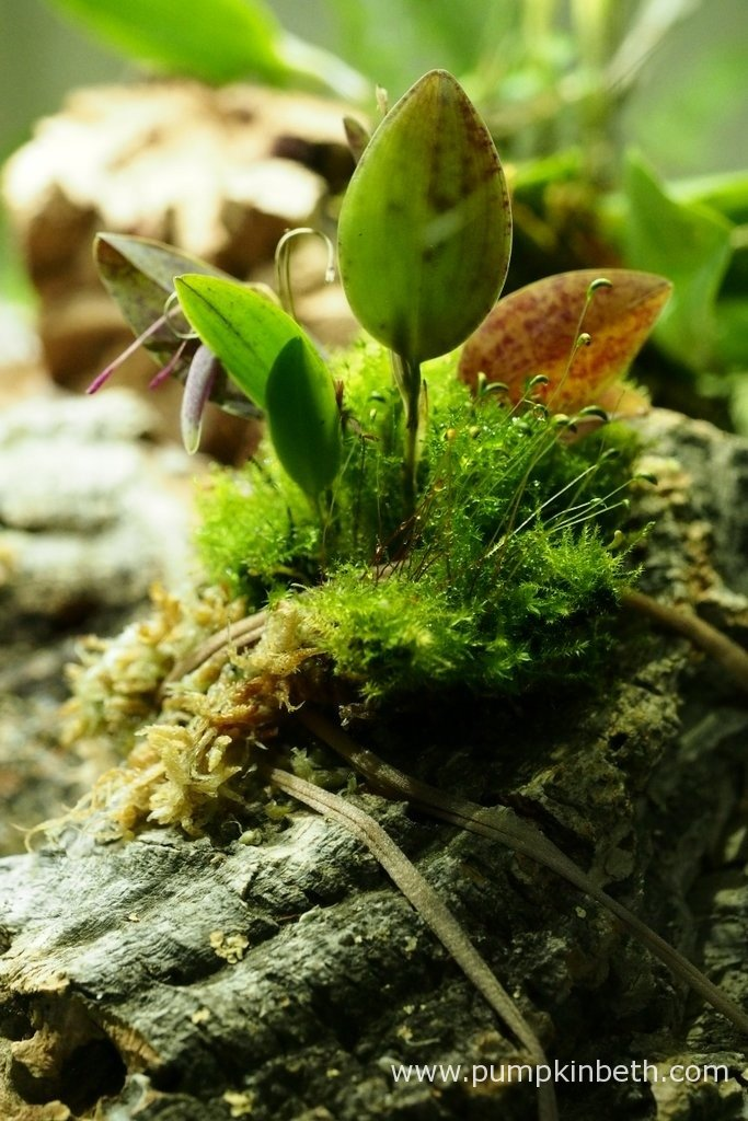 Restrepia seketii as pictured on the 9th April 2016, inside my BiOrbAir terrarium. I have mounted this miniature orchid onto cork bark, using strips cut from stockings to secure the plant gently, yet securely in place on the cork.