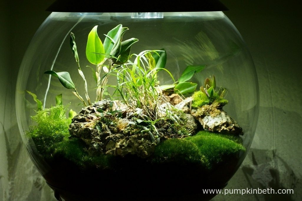 My BiOrbAir terrarium pictured on the 9th April 2016, after the addition of two new miniature orchids - Restrepia seketii and Phalaenopsis parishii.