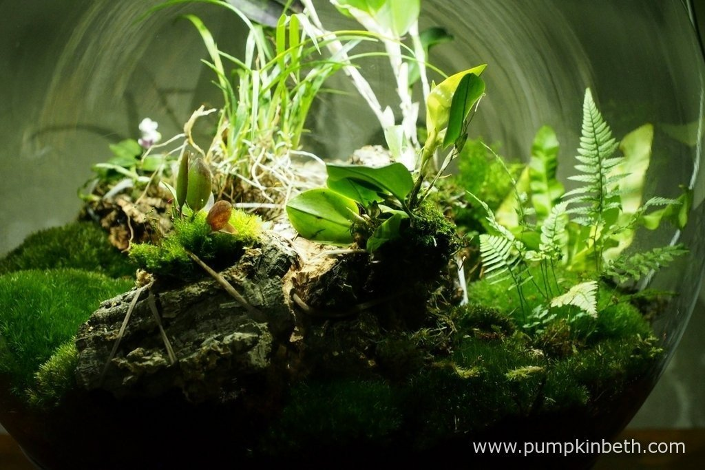 Another close up of the planting inside my BiOrbAir terrarium, as pictured on the 9th April 2016. I have three of the original plants that were included when I first planted this terrarium in September 2014, still growing inside this terrarium now - Polystichum tsussimense, Nephrolepis exaltata 'Fluffy Ruffles' and Asplenium nidus 'Crispy Wave'.