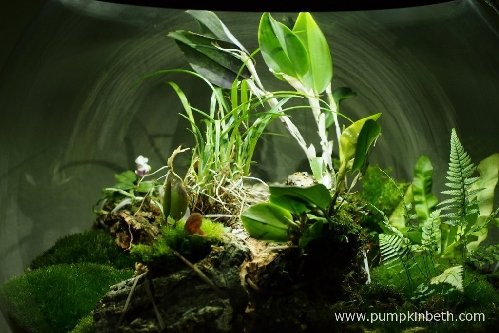 A close up of the planting inside my BiOrbAir terrarium on the 9th April 2016. I have added a new, miniature Phalaenopsis orchid and a new, miniature Restrepia to this terrarium.