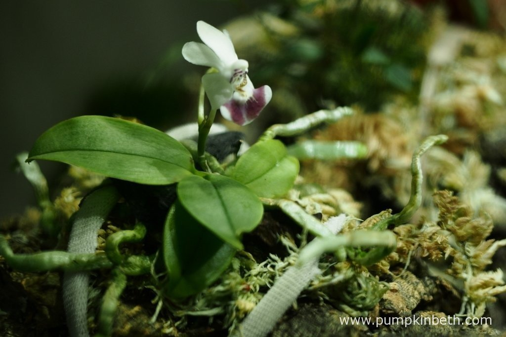 Phalaenopsis parishii is such a cute miniature orchid! I am thrilled to be able to include this tiny Phalaenopsis in my trial. Phalaenopsis parishii is pictured on the 10th April 2016, inside my BiOrbAir terrarium.