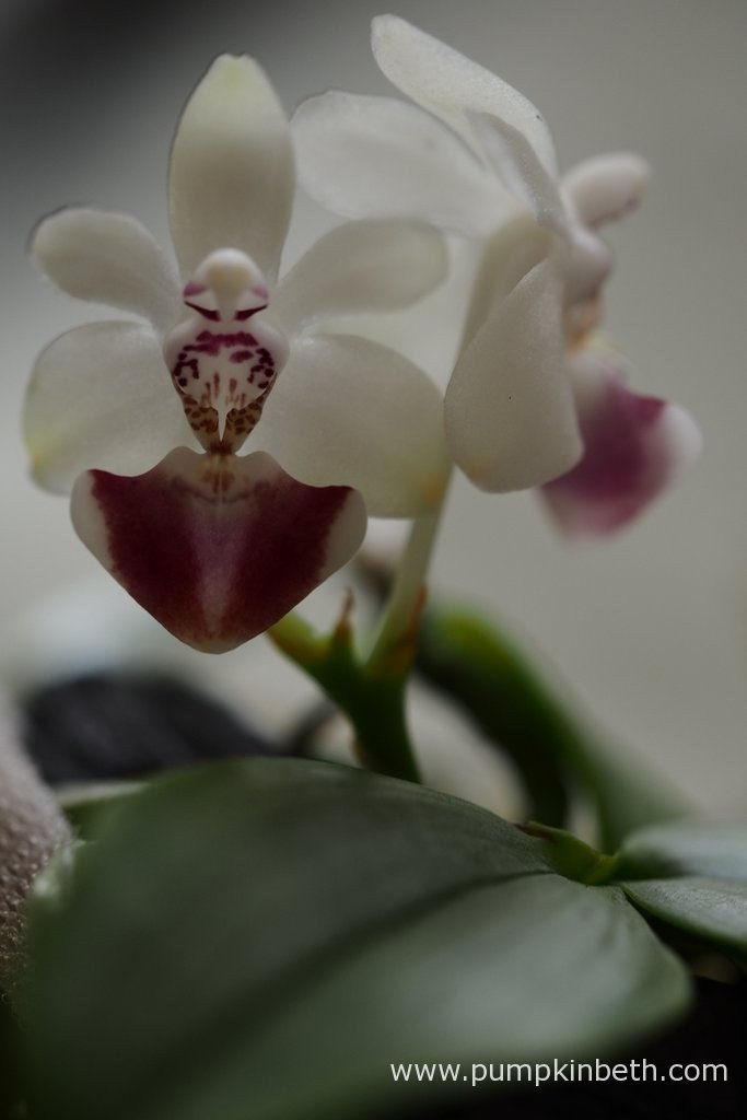 This Phalaenopsis parishii has now produced two flowers. The flowers are often described as having a scent similar to the flowers of Convallaria majalis, more commonly known as Lily of the Valley. As yet I haven't detected any fragrance, either in the day or night times.